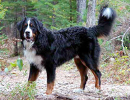 Bernese Mountain Dog at Cape Breton Island, Nova Scotia, Kanada - our male Moritz