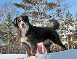 Bernese Mountain Dog at Cape Breton Island, Nova Scotia, Kanada - our female Senta
