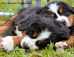 Bernese Mountain Dog puppies sleeping