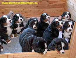 Bernese Mountain Dog puppies at Cape Breton Island, Nova Scotia, Kanada - in welping box