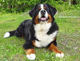 Bernese Mountain Dog Elisa at Cape Breton Island, Nova Scotia, Canada