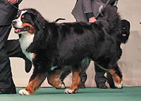 Father of Elisa Bernese Mountain Dog