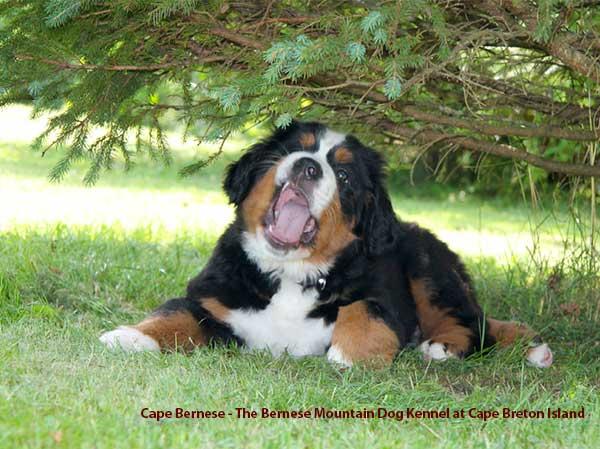 Cape Bernese The Bernese Mountain Dog Kennel At Cape Breton