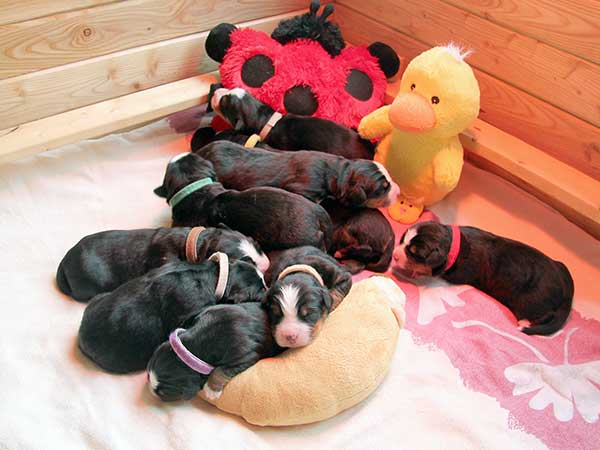 Bernese Mountain Dog puppies day 5
