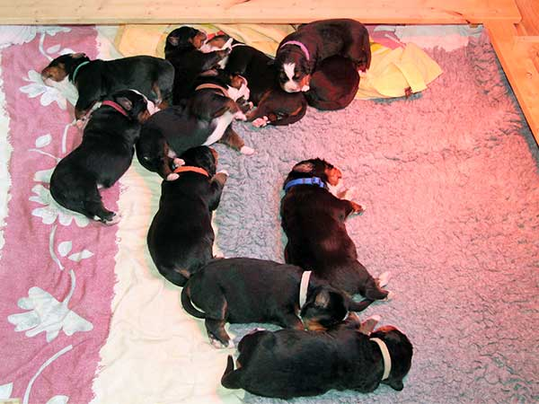 bernese mountain dog puppies day 9