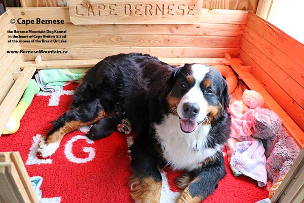 Bernese Mountain Dog puppies at Cape Breton Island Nova Scotia Canada