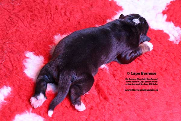 Cape Bernese - The Bernese Mountain Dog Kennel on Cape Breton Island  in Nova Scotia CANADA