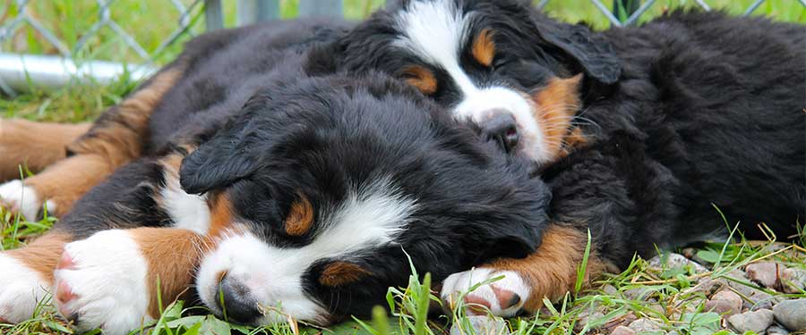 Bernese Mountain Dog puppies at Cape Breton, Nova Scotia, Canada