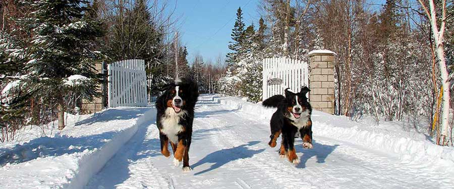 Cape Bernese - The Bernese Mountain Dog Kennel at Cape Breton, Nova Scotia, Canada