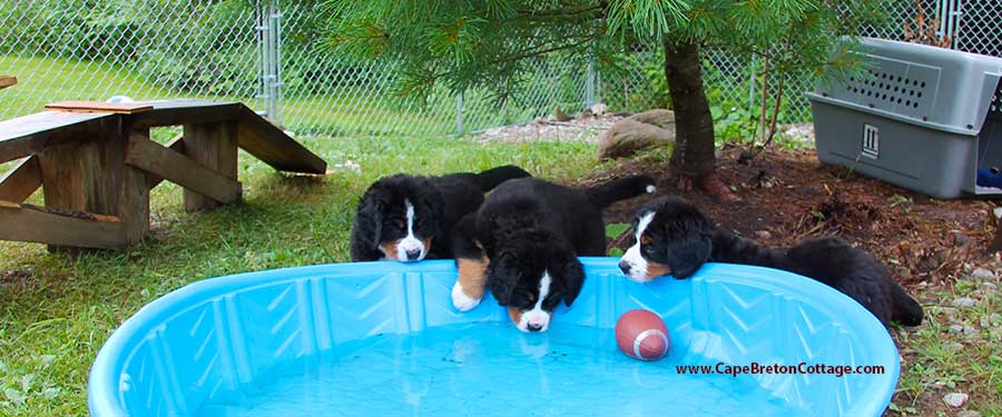 Bernese Mountain Dog puppies at Cape Breton Island, Nova Scotia, Canada