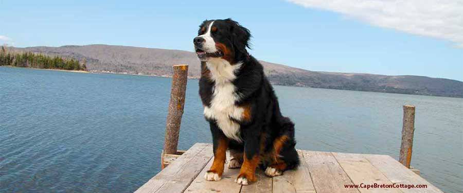Cape Bernese The Bernese Mountain Dog Kennel At Cape