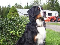 our male Bernese Moutain Dog Moritz king of the yard