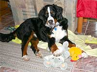 our yungster male Bernese Moutain Dog Moritz playing