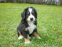 our baby Bernese Moutain Dog Moritz on the lawn