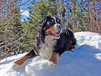 our male Bernese Moutain Dog Moritz watching on snow