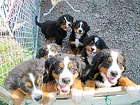 Bernese Mountain Dog puppies are playing