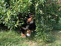 Bernese Mountain Dog puppy is hiding