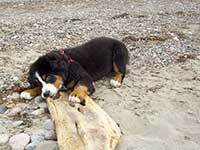 our female Bernese Moutain Dog Senta on the beach