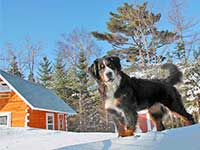 our female Bernese Moutain Dog Senta on snow bank