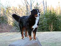 our female Bernese Moutain Dog Senta on the rock