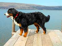 our female Bernese Moutain Dog Senta on the wharf
