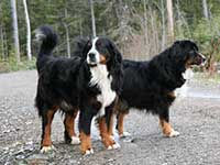 our first Bernese Mountain Dog Elsa and Vincent